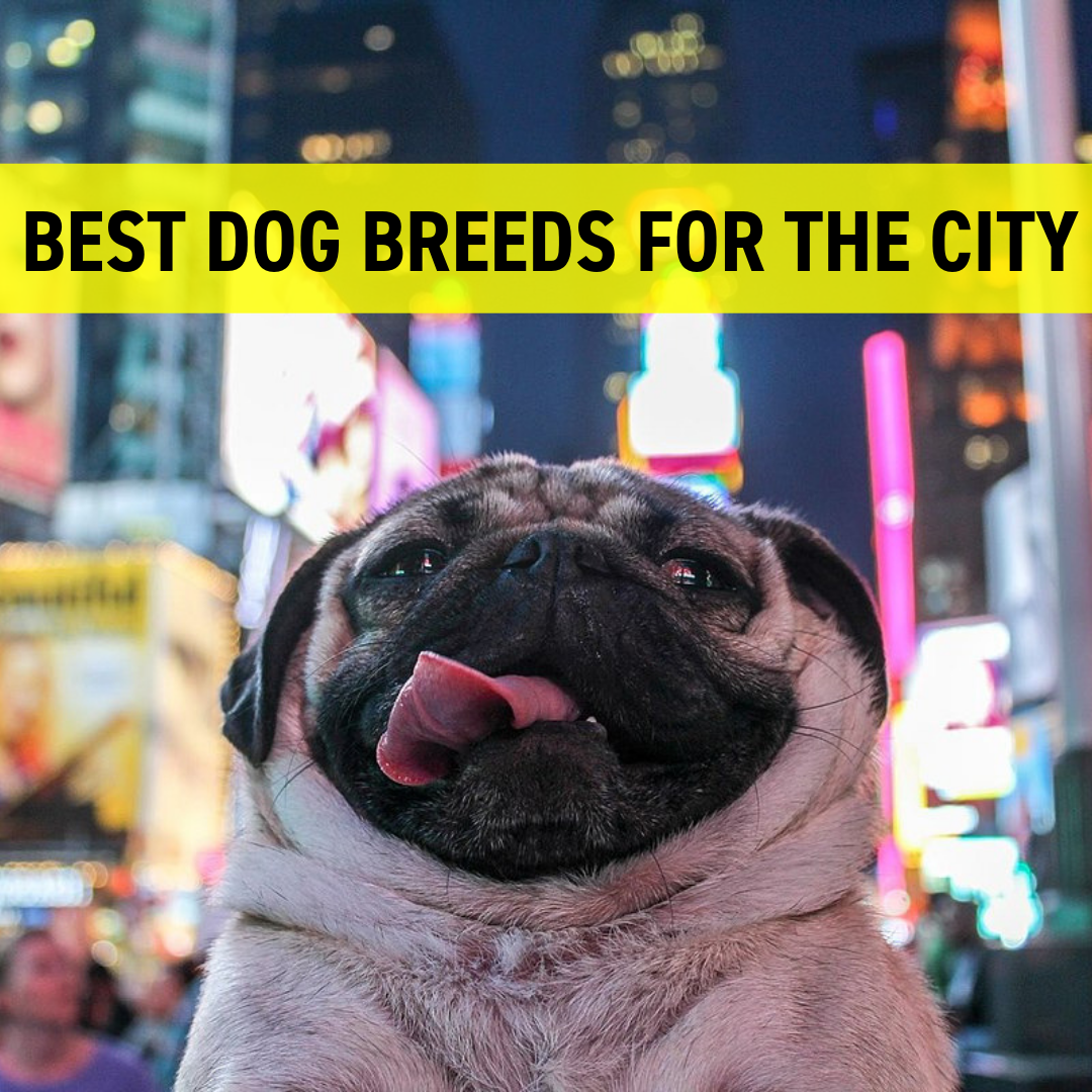 Best Dog Breeds for The City