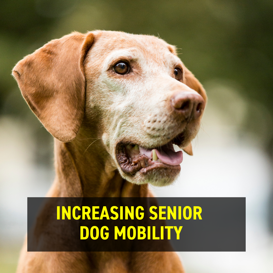 Increasing Senior Dog Mobility