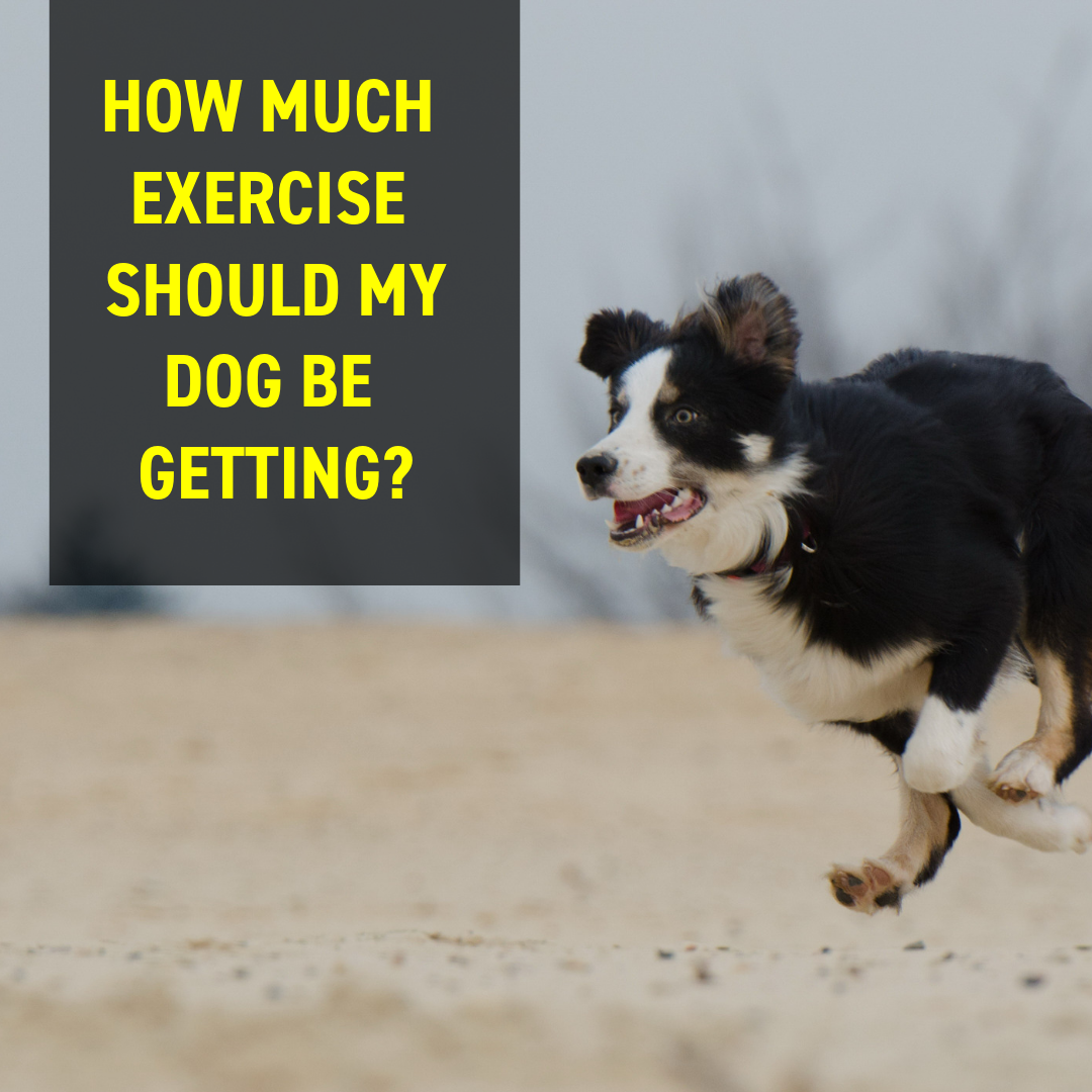How Much Exercise Should My Dog Be Getting?