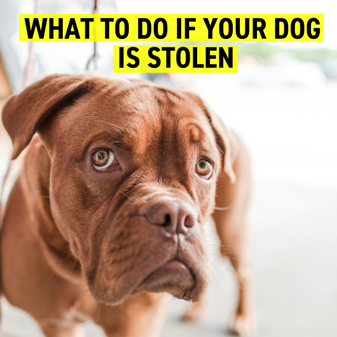 What To Do If Your Dog Is Stolen