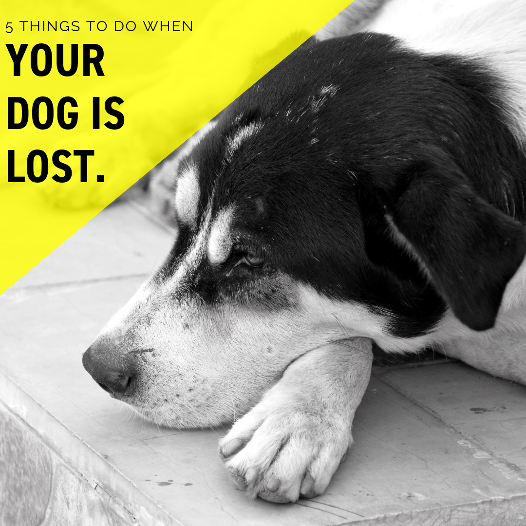 5 Things to Do When Your Dog is Lost