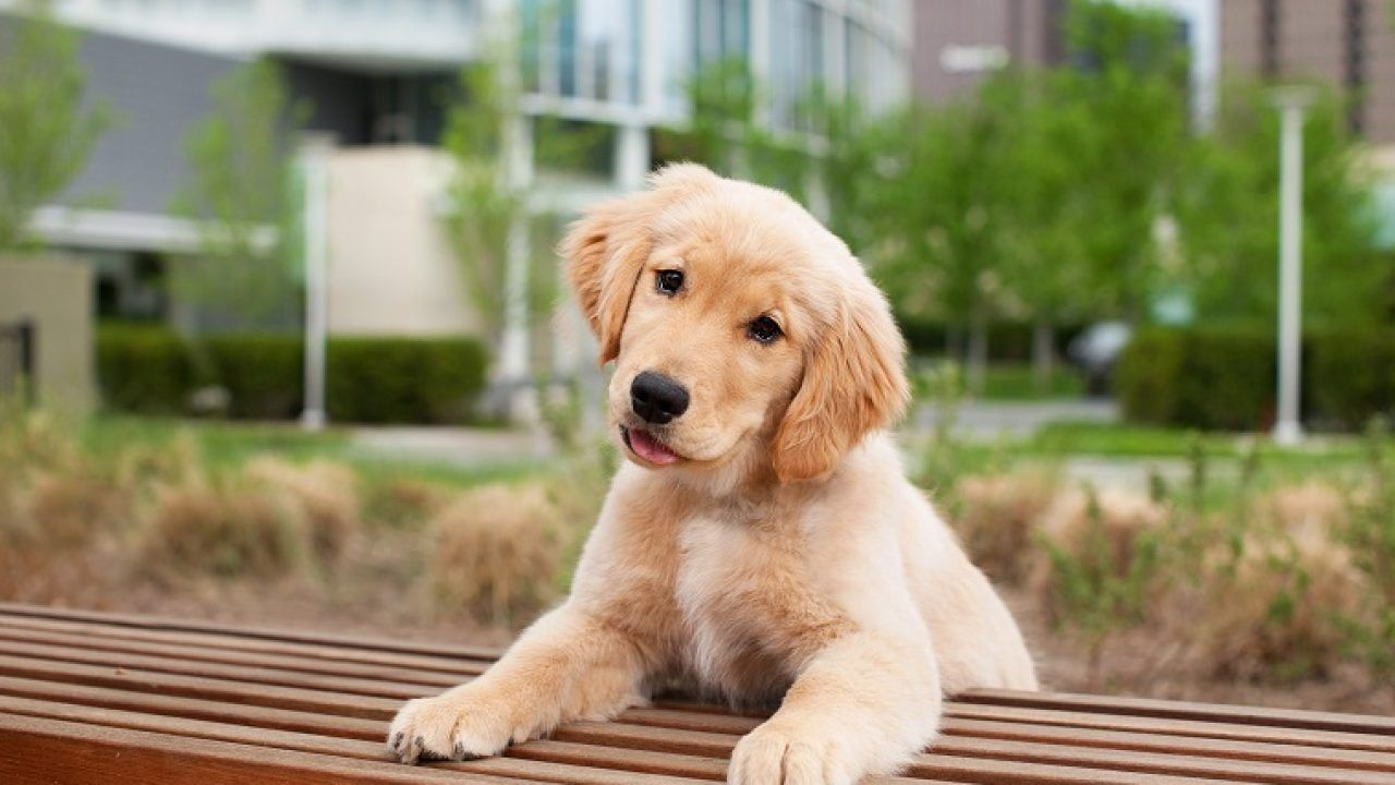 Quiz: Can You Guess the Breed Based on the Puppy?