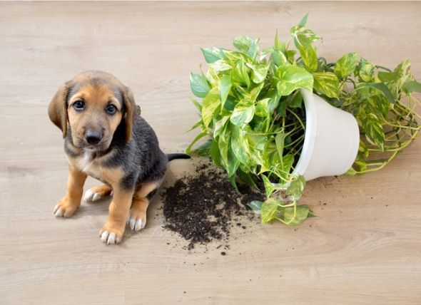 What Indoor Plants Are Toxic For Dogs?