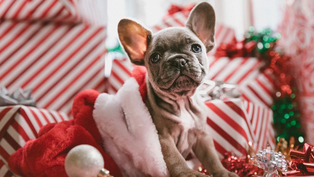 Ask Dr. Jeff: New Puppy for Christmas? Here's What You Need to Know.