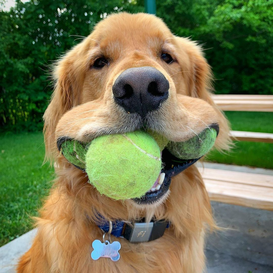 National Golden Retriever Day: Check Out Our Favorite Goldens!