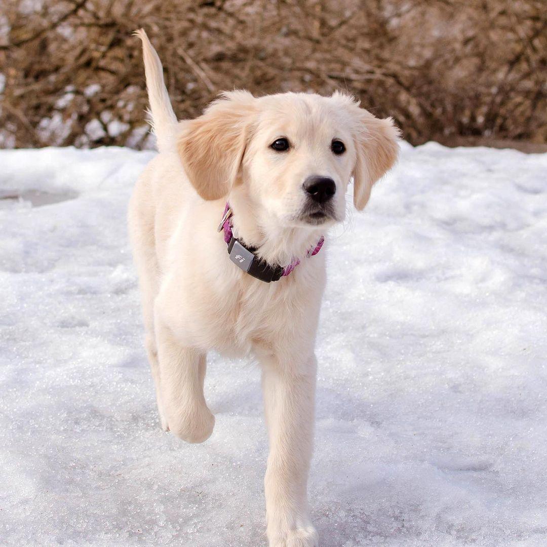 puppy, fi collar, puppy in snow, national puppy day
