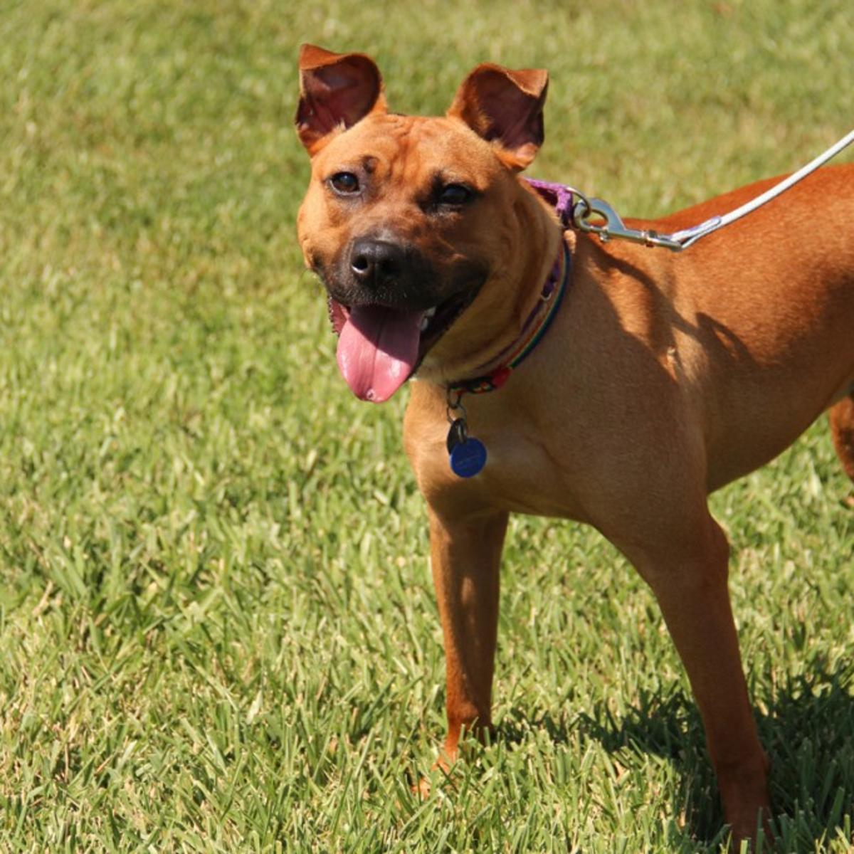 Basenji Pitbull Mix - Meet The Breed