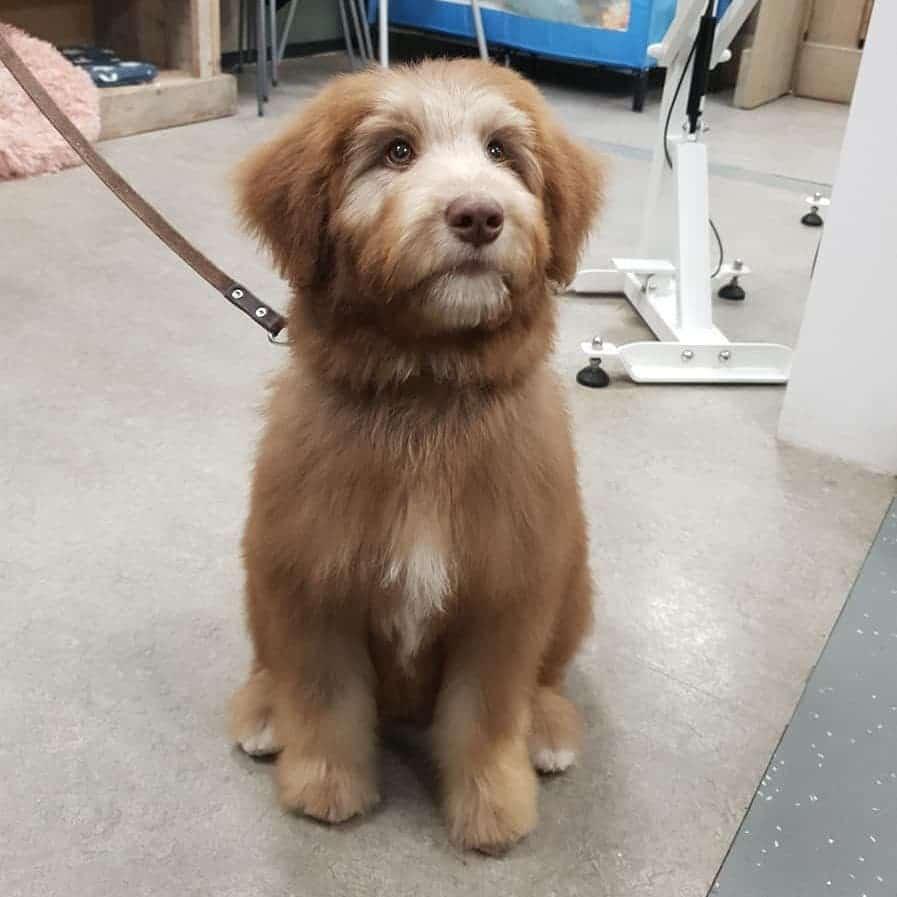 brown husky poodle mix, brown huskypoo, brown huskydoodle