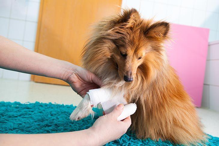putting cream on dog, dog with bandage