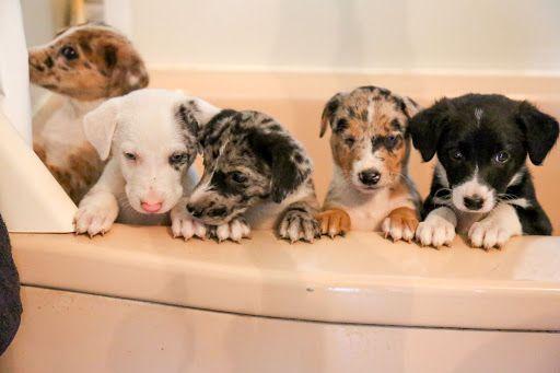 catahoula border collie mix puppy
