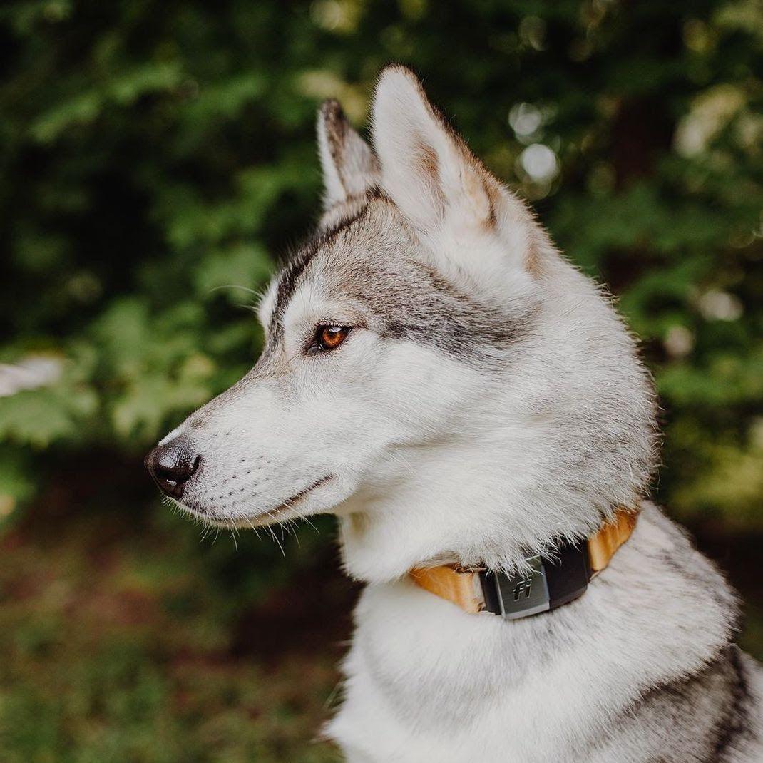 Dog Breeds With Amber Eyes