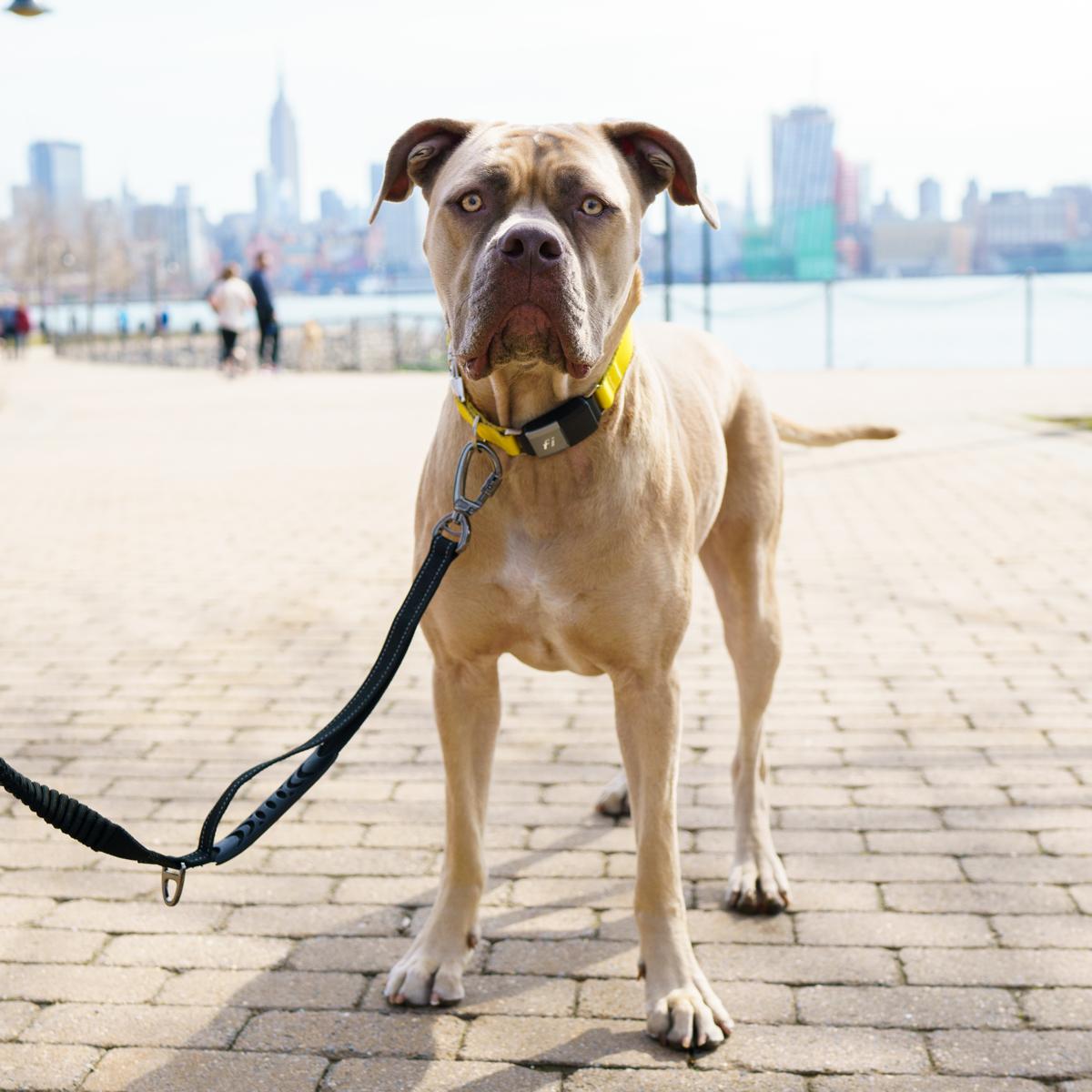 Mastiff Dog Collars