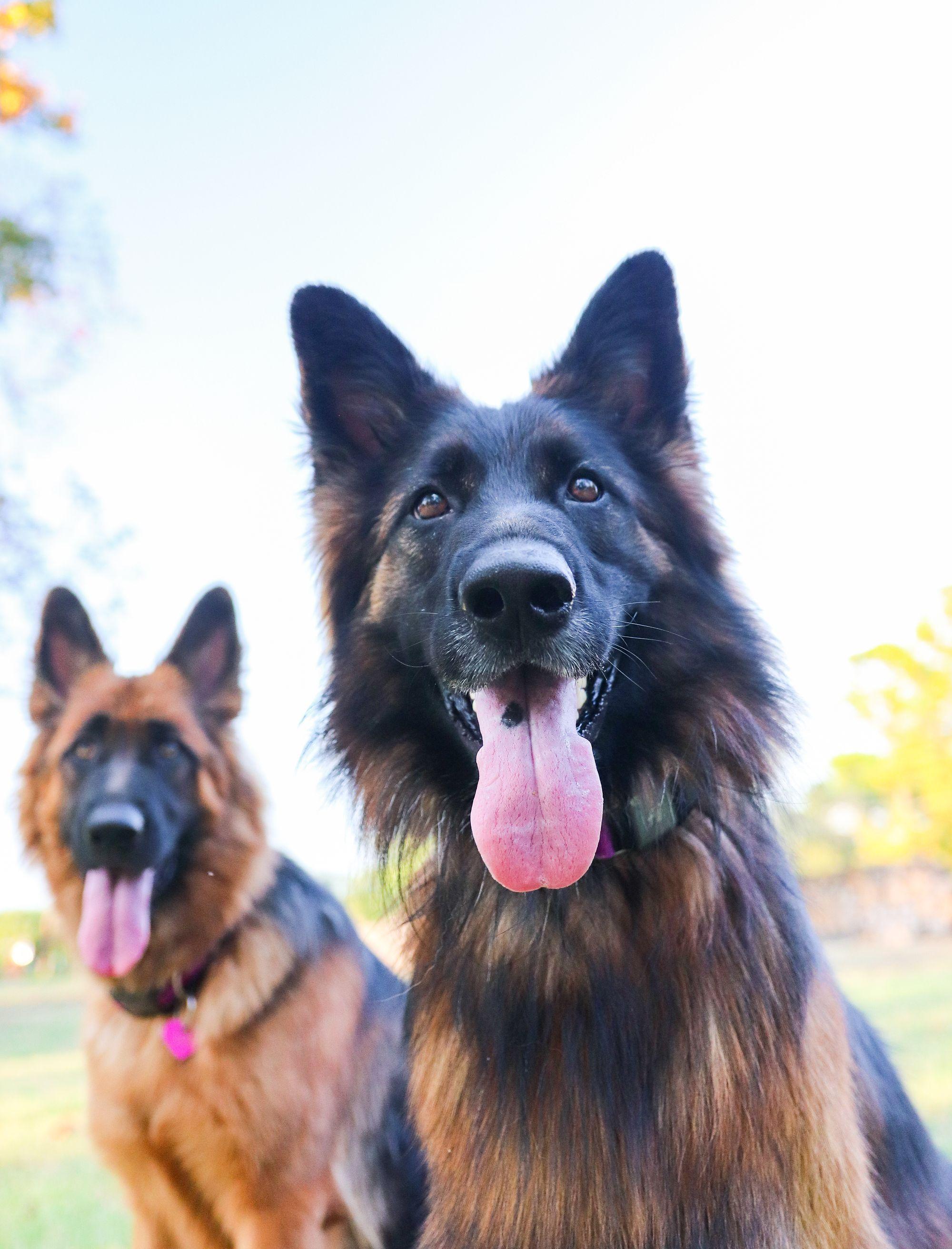 german shepherd, dog with fi collar