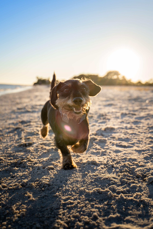 small dog running on the beach