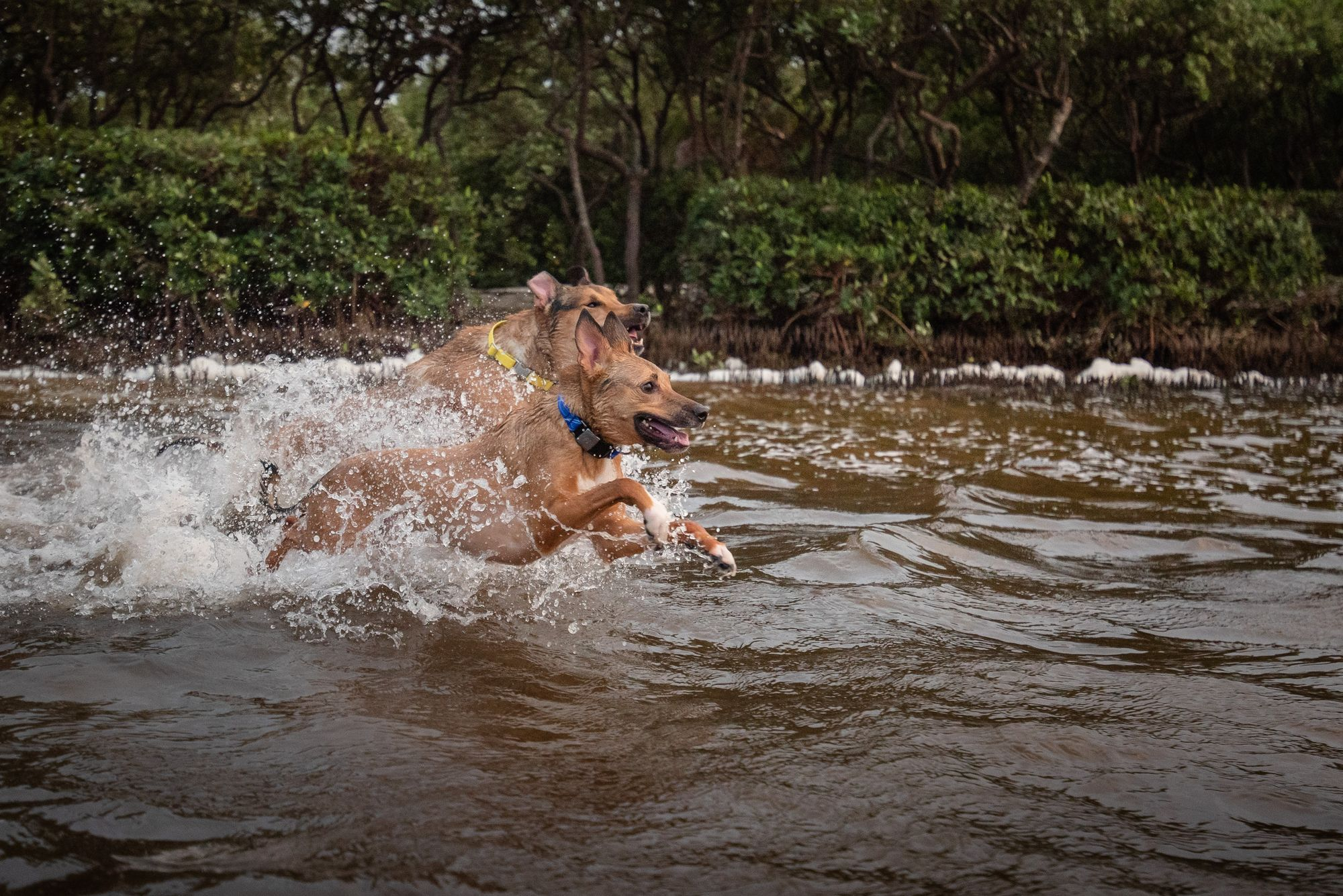 dogs running in the water