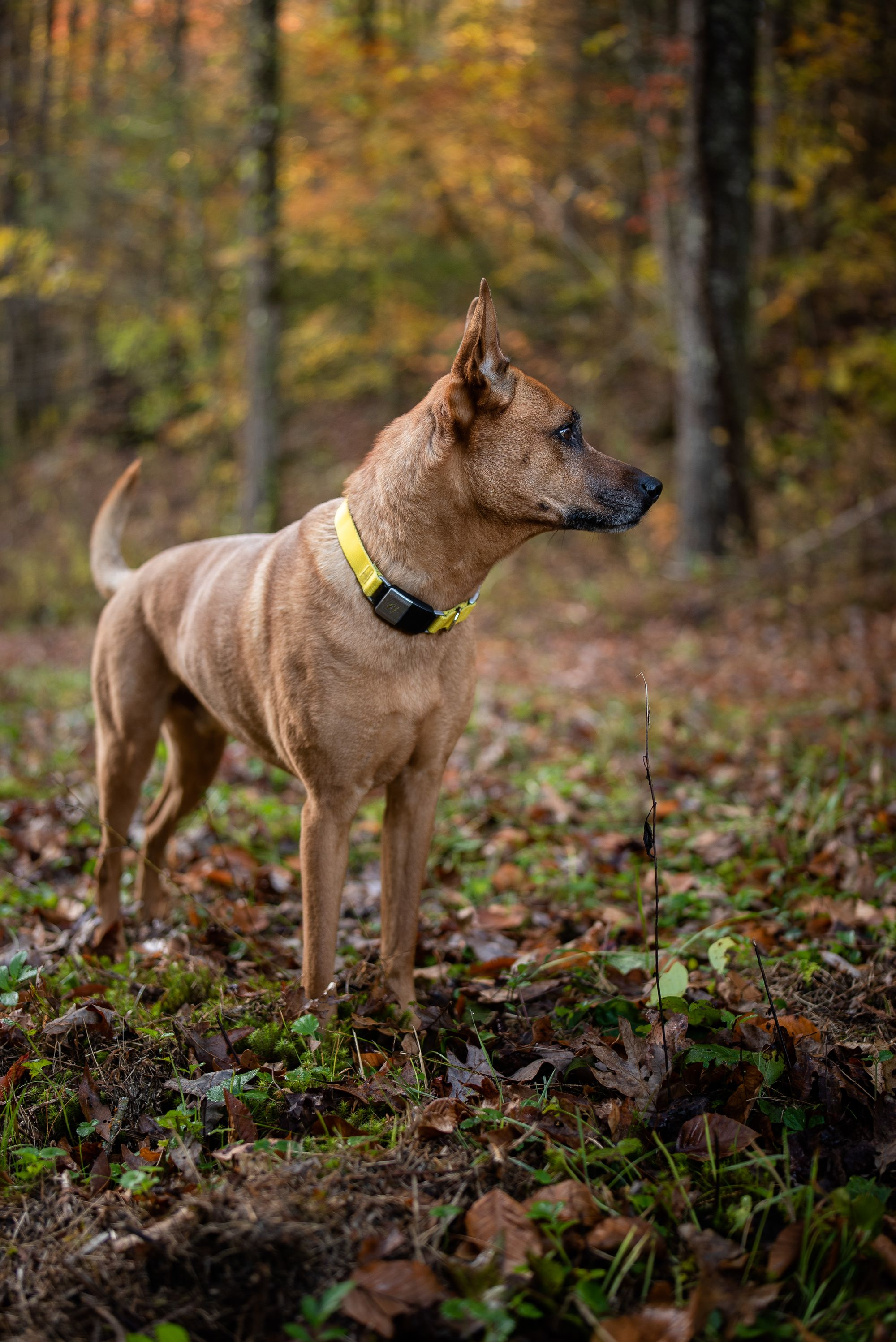 dog in the woods, dog GPS collar