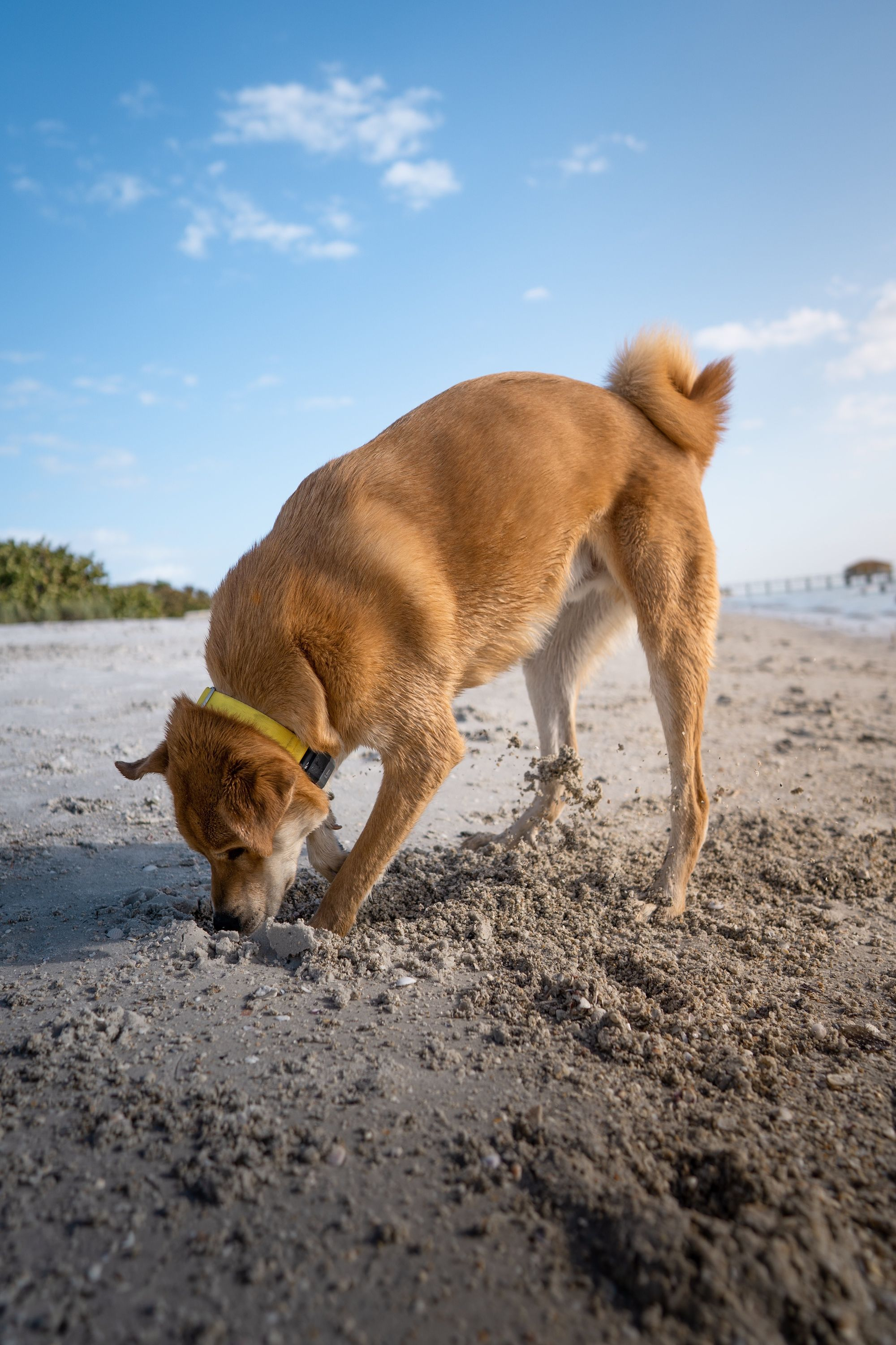 dog digging on the beach