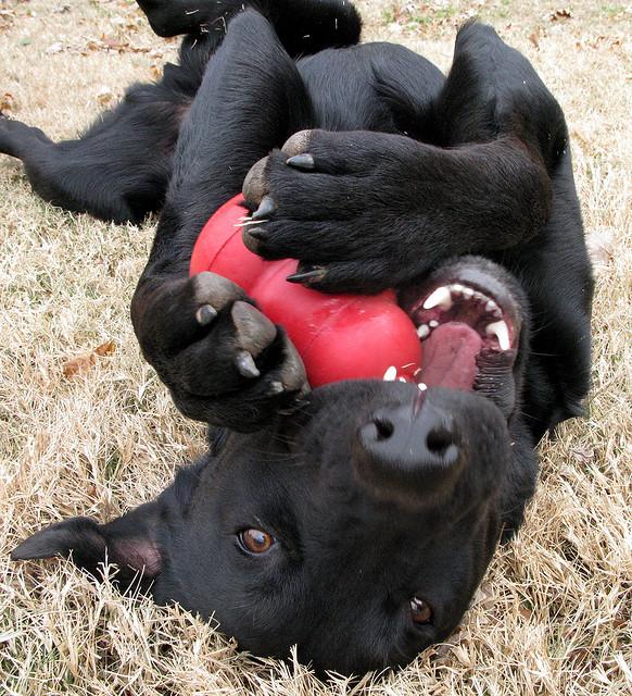 dog eating kong