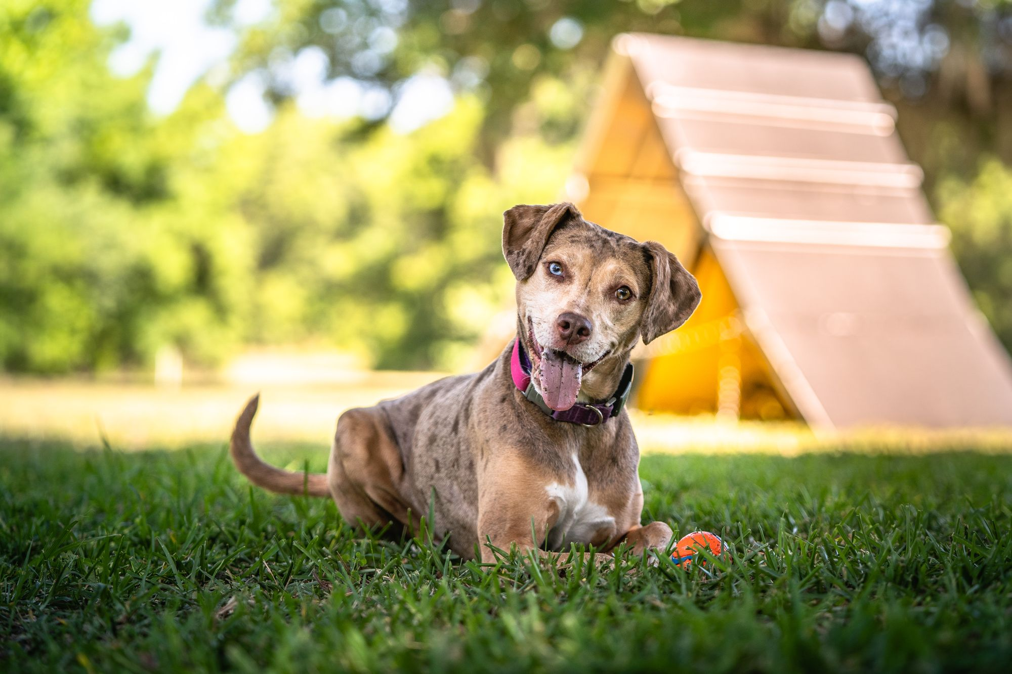 Suns Out, Tongues Out - Signs Of Heat Induced Illness In Dogs From Dr. Lil, VMD