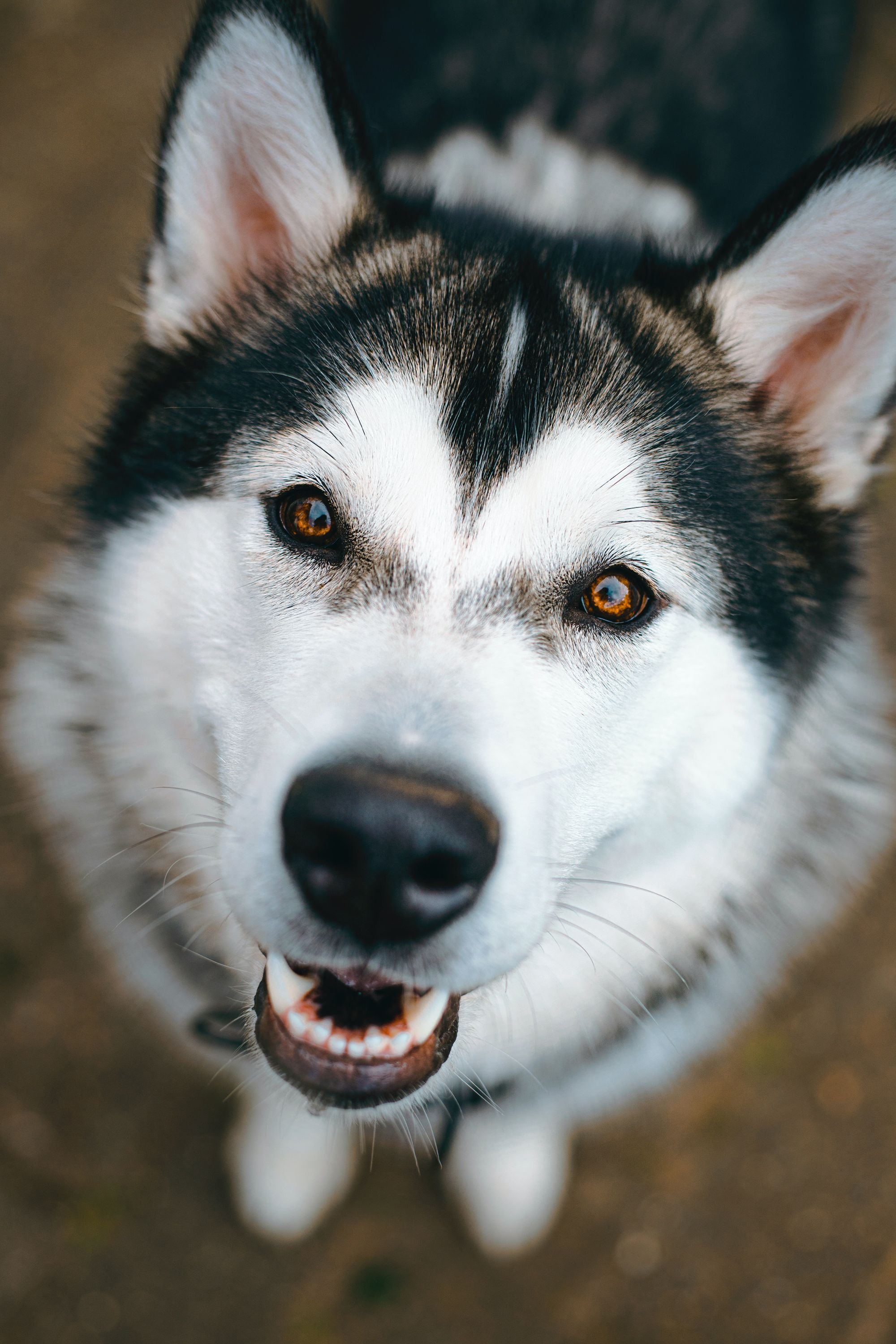10 Simple Signs of a Husky's Affection: Ways that Huskies Show You They Love You!