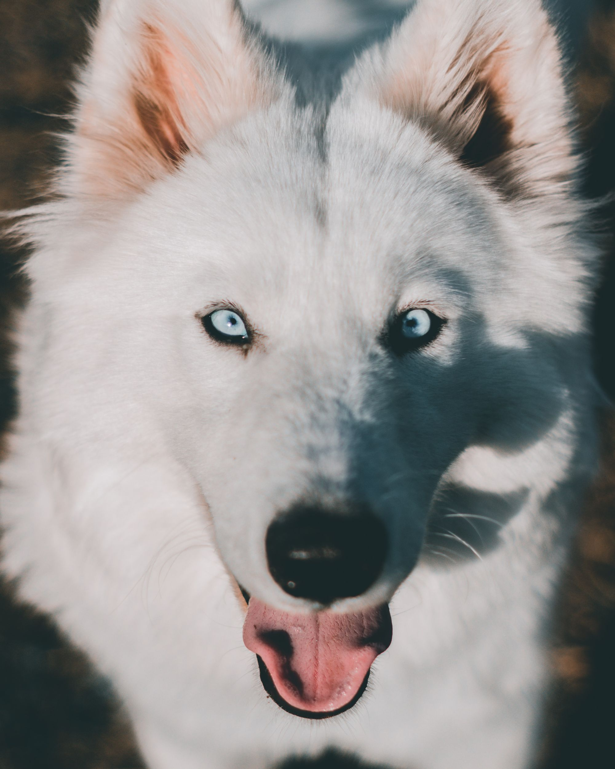 The Samoyed Husky Mix: Temperament, Size, Traits, and More!