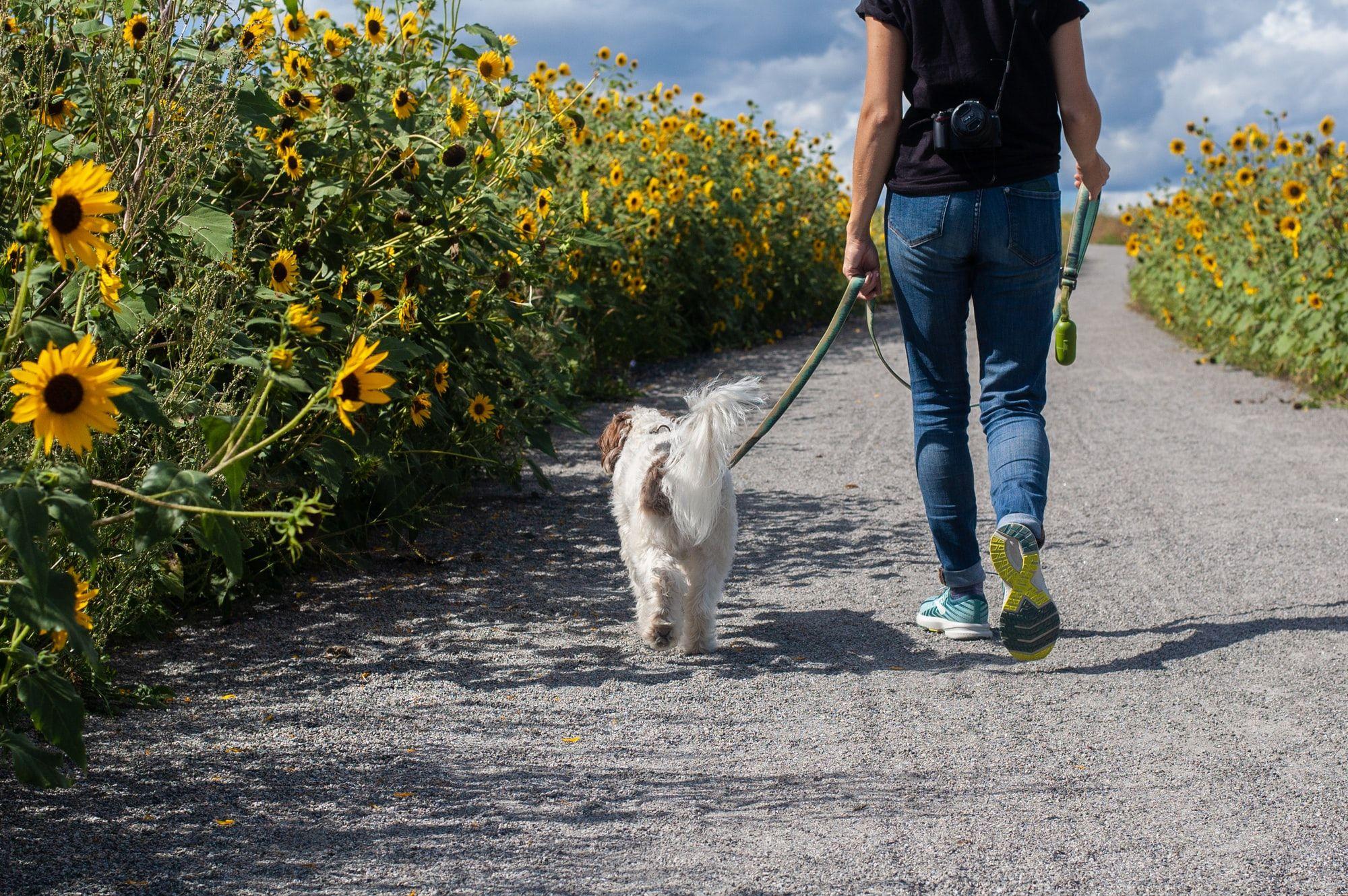 Dog Training with Or: Teaching Loose Leash Walking