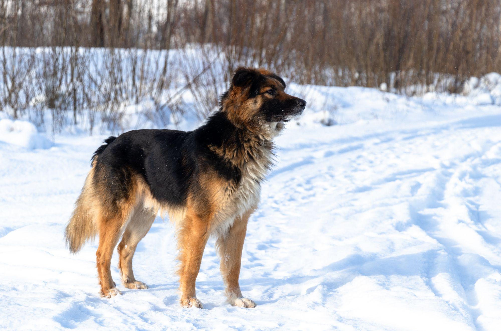 German Shepherd or Irish Setter… Why Not Both? Meet the German Shepherd Irish Setter Mix.