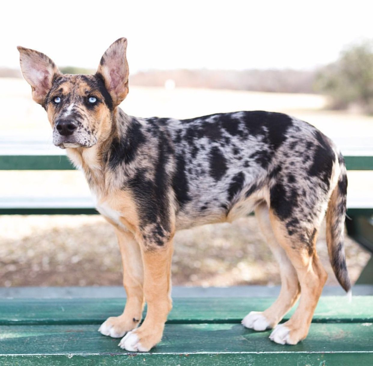 Catahoula German Shepherd Mix: Physical Traits, Personality, Temperament and More!