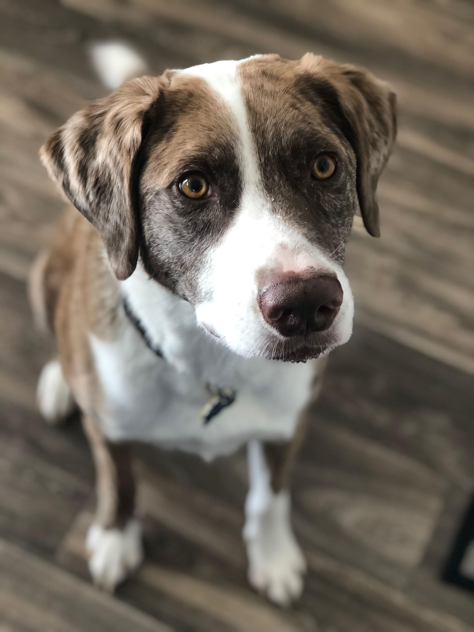 Are Catahoula Lab Mixes Good Dogs?