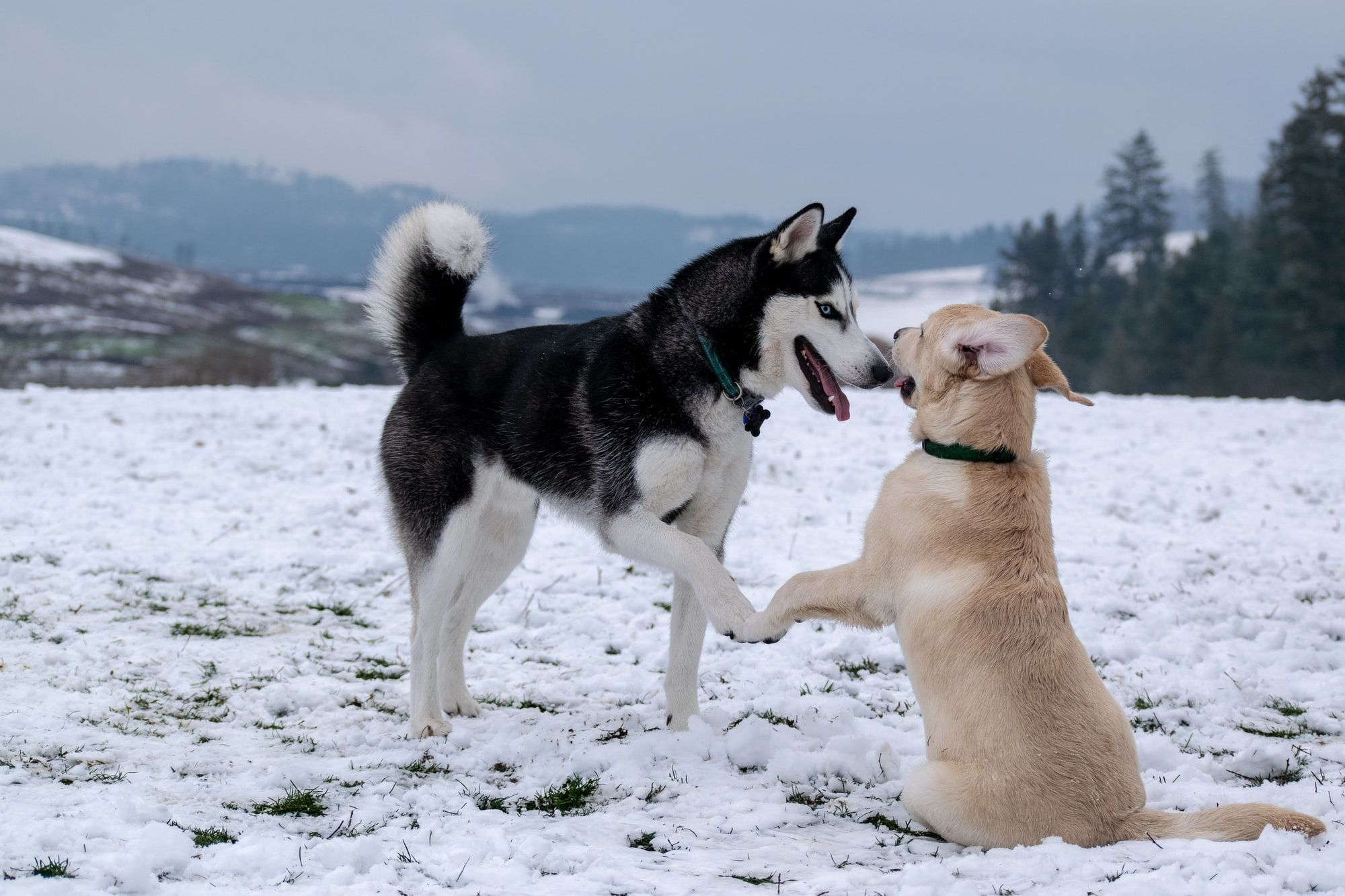 Why Does My Dog Lick My Other Dog's Face?