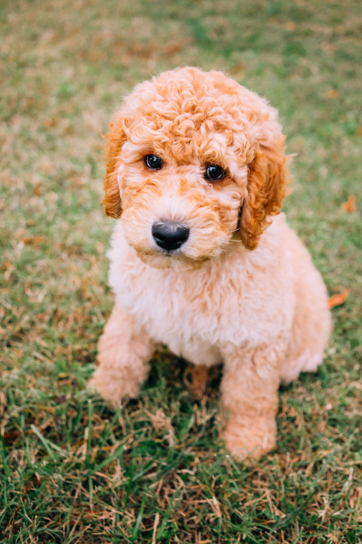 Best Puppy Food for Goldendoodles