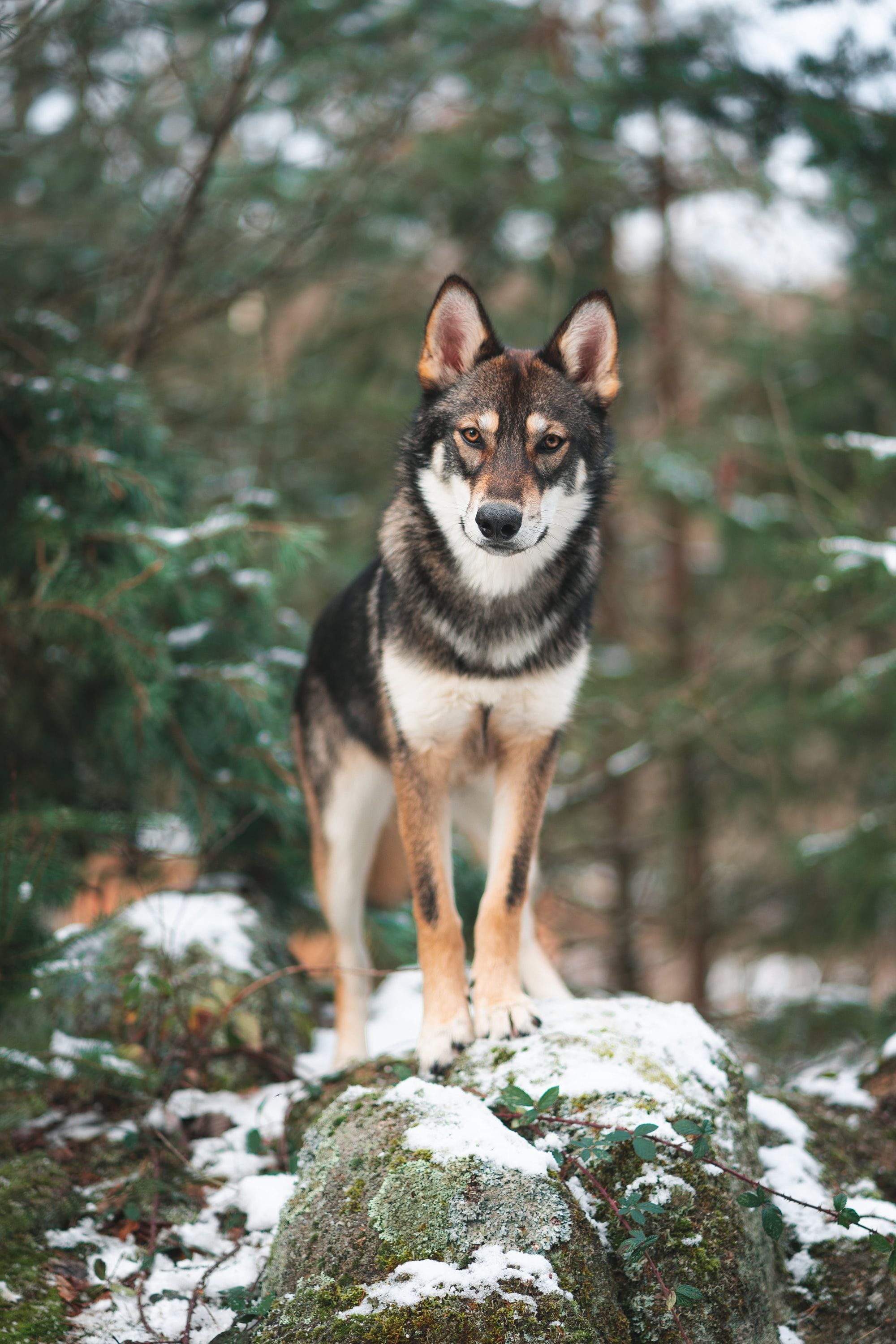 Can Dogs Understand Wolves & Coyotes?