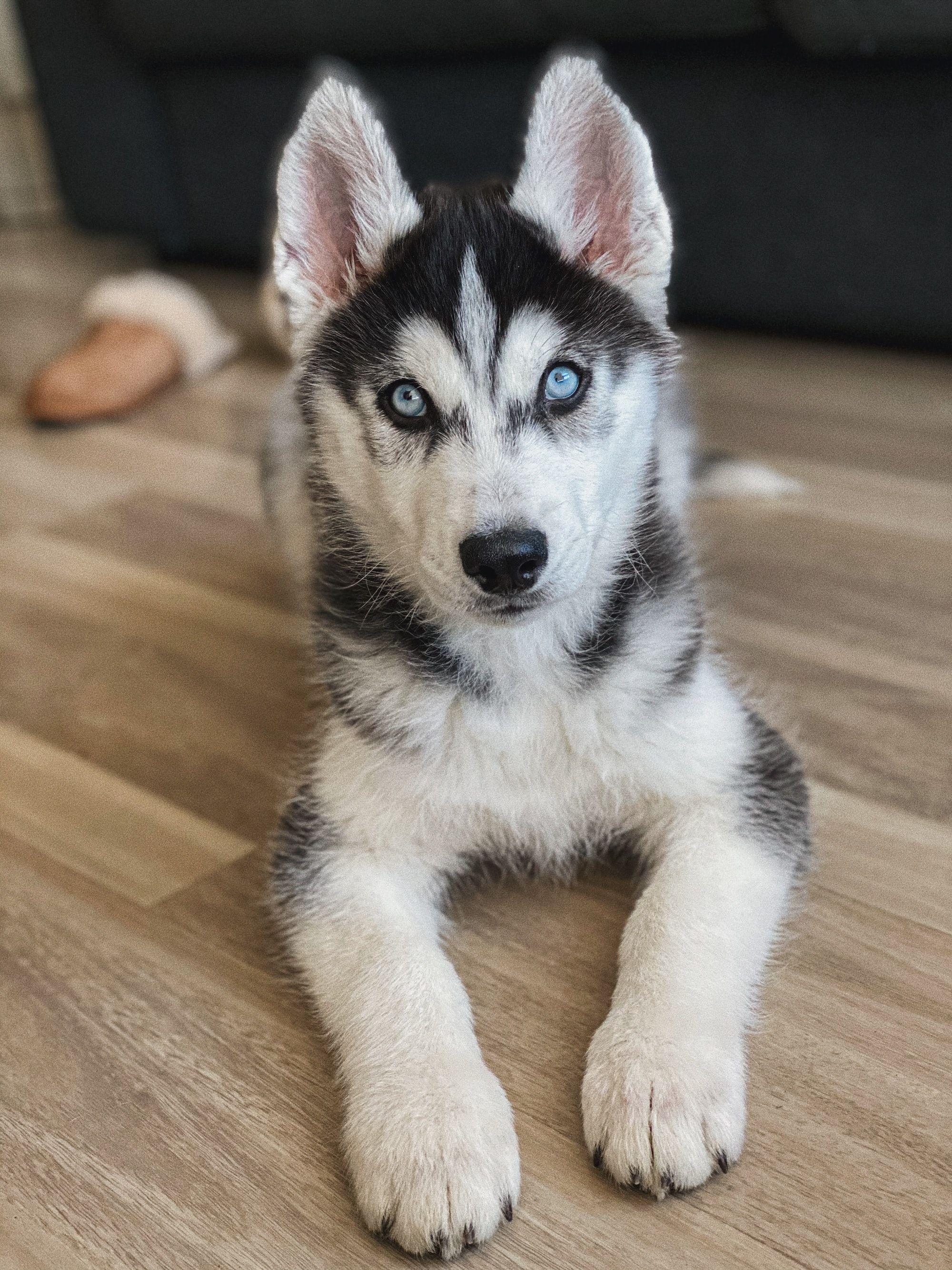 Why Do Huskies Talk?