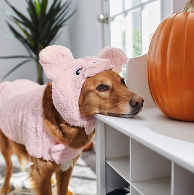 dog staring a pumpkin and wearing a pig dog costume